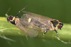 Hyalesthes obsoletus