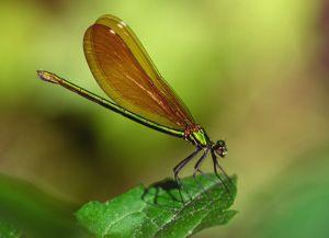 Prachtlibelle Calopteryx spec.