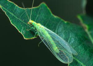 Bộ sưu tập côn trùng 2 - Page 24 Florfliege%20Chrysopa%20viridana