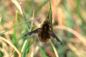 Bombylius sp.