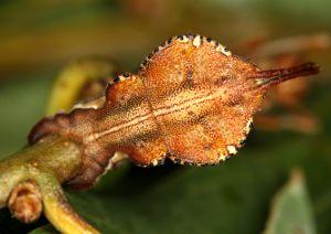 Buchenspinner Stauropus fagi, Abomen Unterseite