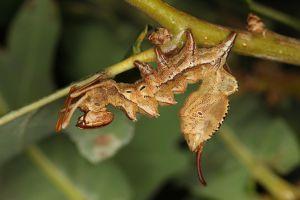 Buchenspinner Stauropus fagi