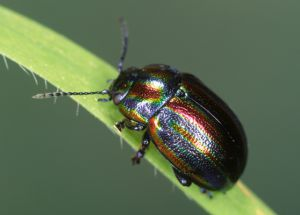 Chrysolina ceralis