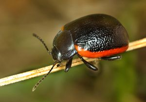 Chrysolina gypsophilae