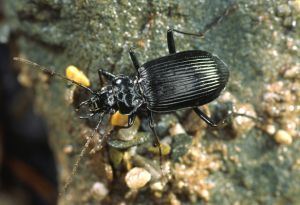 Nebria rufescens