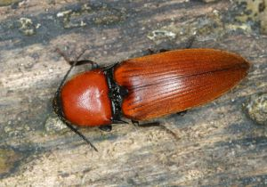 Elater ferrugineus