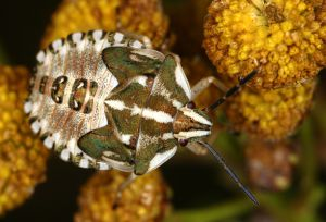 Carpocoris spec. Larve