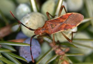 Gonocerus juniperi
