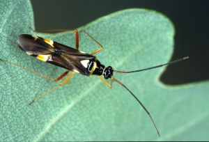 Cyllecoris histrionius, dunkle Form