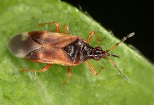 Anthcoris confusus