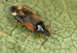 Anthocoris gallarum-ulmi