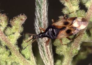 Anthocoris nemorum