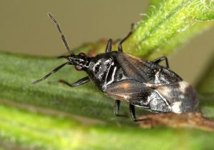 Anthocoris sarothamni