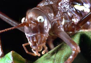 Sattelschrecke